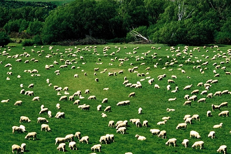 たくさんの羊たち